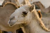 UAE, Dubai, close-up of a camel face, at a farm in the desert outside of Dubai