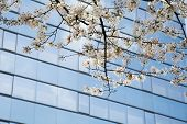Cherry Blossoms by Modern Skyscraper
