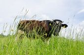 Bull Graze In Pasture High Grass And Gadfly Insect