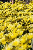 Yellow Chrysanthemum Flowers Garden
