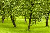 Fruit trees standing in the orchard.