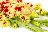Colorful fresh red and yellow gladiolus isolated on white \ horizontal