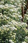 White Chrysanthemum Morifolium Flowers Farms