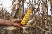 Farmer showing corn maize ear