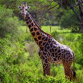 Giraffe grazing among green lush trees. Kenya