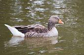 Sleeping Greylag Goose