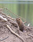 Baby Beaver on beaver dam