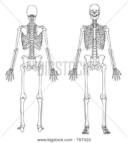 Picture or Photo of Line drawing of a human skeleton, male, front and back.