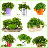Fresh parsley and dill collage