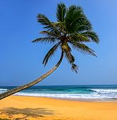 Palm Tree on Sri Lanka Beach