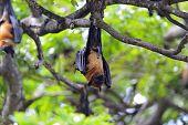 Bat hanging upside down Sri Lanka