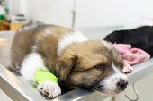 foto of catheter  - illness puppy - JPG