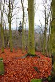 Bright Carpet Of Leaves In Hardwood Forest Karlovy Vary, Czech Republic