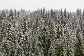High Mountain Snowy Spruce Forest, Covered By Hoar Frost And The Mist