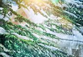 Beautiful winter background, fresh evergreen tree branches covered with snow, beauty of wintertime nature, Christmas holidays concept
