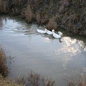 Three white ducks swim in the water