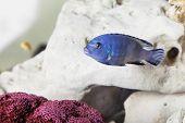 Blue Malawi Cichlids