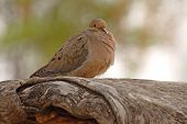 Mourning Dove on Knotty Branch