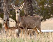 stock photo of mule deer  - A female Mule Deer of field and forest - JPG
