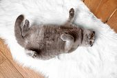 British short hair cat lying on back on fur rug on wooden background