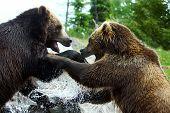 Lucha contra el oso grizzly (marrón)