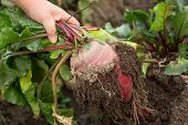 Hand Dragging Young Beetroot