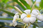 Plumeria flower with soft nature background.