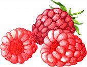 watercolor drawing raspberries