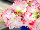 Amaryllis Flowers Bouquet
