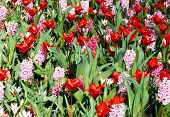 Spring Red Tulips And Pink Hyacinths (closeup)