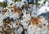 White Blossoming Tree