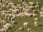 Sheep Lambs And Goats Grazing  In The Mountains In Autumn