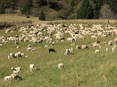 Immense Flock Of Sheep Lambs And Goats Grazing  In The Mountain