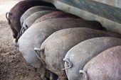 picture of farrow  - Black Iberian pigs running free - JPG