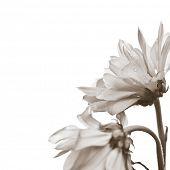 Two beautiful daisy flowers on white background - Profile angle close up shot.