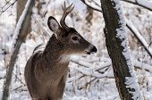 Whitetail deer (buck) in the snow