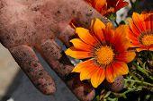 Orange Flower In Garden In Dirty Hand