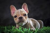 Close Up Lovely Face Of French Bull Dog Lying On Green Grass Floor