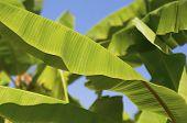 Green banana leaves on tree