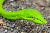 picture of tree snake  - Oriental Whipsnake or Asian Vine Snake  - JPG