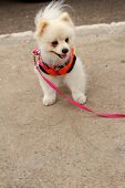stock photo of pomeranian  - Pomeranian dog white lovely in the park - JPG