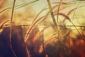 stock photo of pampas grass  - Abstract Grass at sunset background the countryside is beautiful - JPG