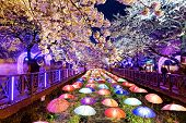 image of night-blooming  - cherry blossoms at night - JPG