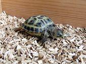 image of tortoise  - Baby tortoise walking on his tortoise table - JPG