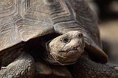 picture of tortoise  - Portrait of a Leopard tortoise  - JPG