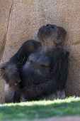 picture of gorilla  - adult western gorilla sitting under a shaded rock - JPG