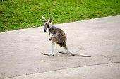 pic of kangaroo  - baby kangaroo learning how to stand and hop - JPG