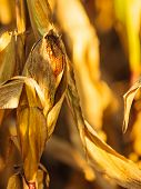 pic of corn stalk  - Closeup of dry corn on the stalk in the field - JPG