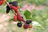foto of mulberry  - Thai Mulberry On Mulberry Tree  - JPG