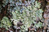 pic of lichenes  - Closeup of Lichen on wood bark in Europe - JPG